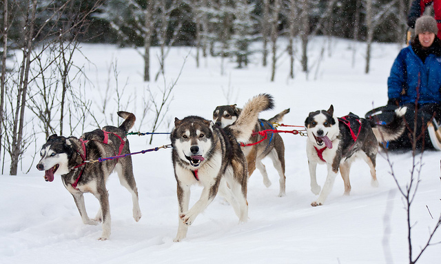 Image of a team of dogs pulling a dog sled
