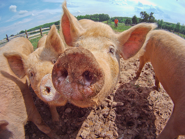 Image of a group of pigs on a farm