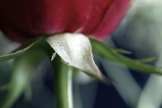 Image of a close-up of a red rose