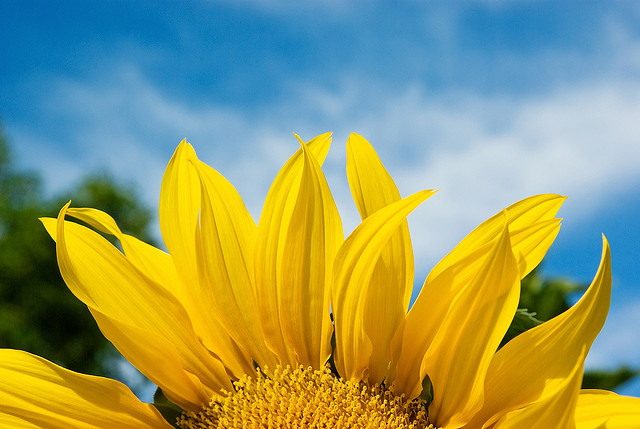 Image of a sunflower in front of a blue sky